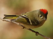 72ruby-crowned-kinglet-from-naturecenter