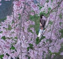 2010/04/25 18:30 女鳥羽川桜情報