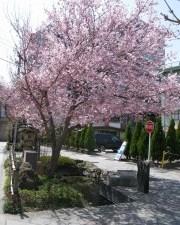 2011/04/11 中心市街地の桜