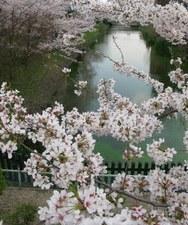 2009/04/12 松本城総掘り 片端の桜