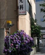 七月の紫陽花 2009年
