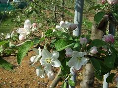 梓川ふるさと公園のりんごと桜の花