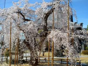 2016/04/05 14:40ころ 里山辺兎川寺の枝垂桜