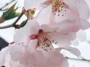 2017/04/09 am11:00 雨のコヒガンサクラ 辰巳の庭