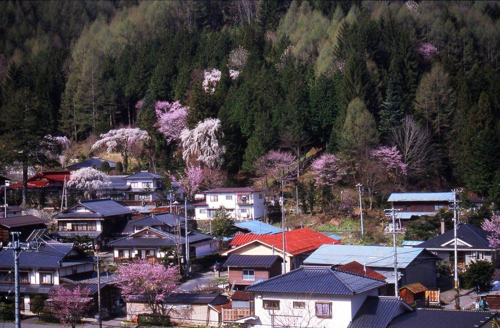 奈川の御殿桜(黒川渡地区他)