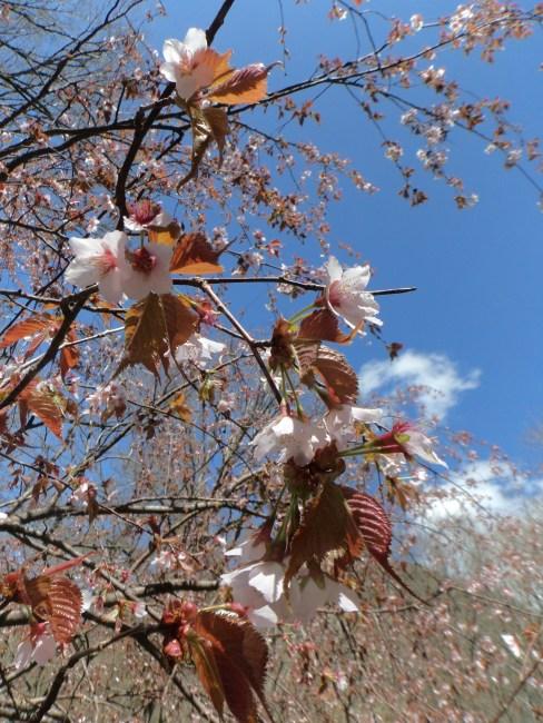 Les cerisiers autour des montagnes de Kamikochi