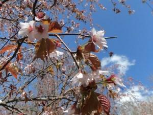 가미코치 주변 산벚꽃나무