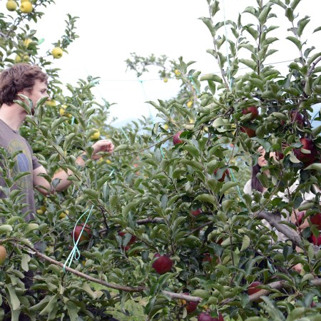 เก็บแอปเปิ้ล