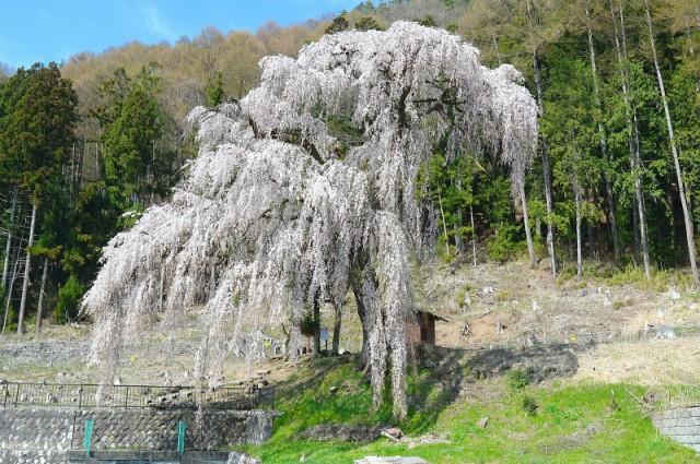 Azusa River - Shakado Weeping Cherry Tree