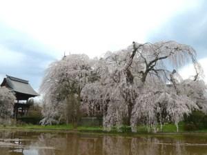 波田地区 安养寺的垂枝樱花