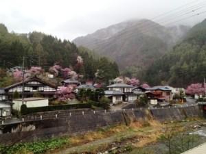奈川の御殿桜(入山地区)