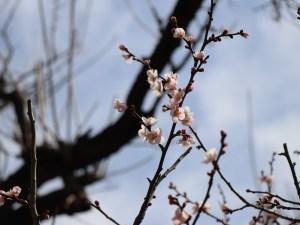 松本城散步賞梅