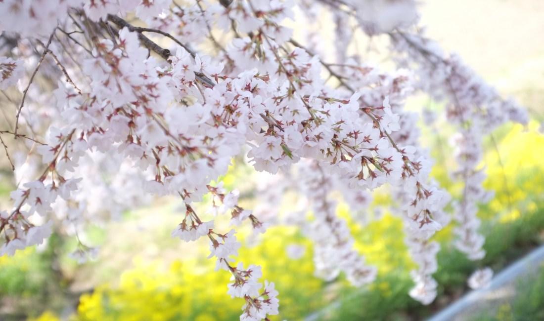 The Last Days of the Cherry Blossom Season