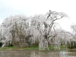 波田地区 安養寺のしだれ桜