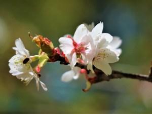 五月の桜と水出し珈琲「美ヶ原高原・三城いこいの広場」の憩いの時間
