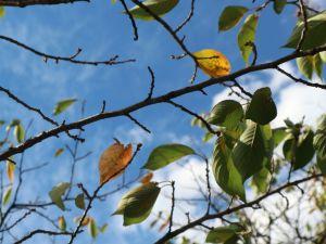 松本城桜並木がほんの少し黄色になり始めました。