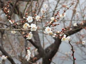国宝松本城「片端総掘り」の梅が咲いていました!
