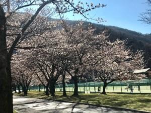 松本市営球場の桜