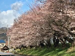 美須々の駐車場の桜