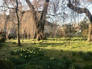 波田  安養寺の桜   まだまだ