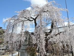 兎川寺の枝垂れ桜 見頃です。