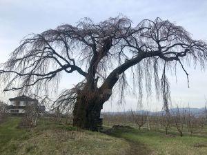 梓川北条の枝垂れ桜