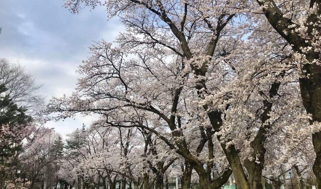 松本歯科大学の桜🌸  ちょっと足を伸ばしてみませんか?