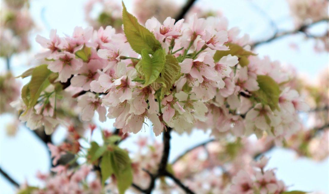 松本城ソメイヨシノは散り次の桜が満開そしてGW2日目天守入口までの長~い待ち時間