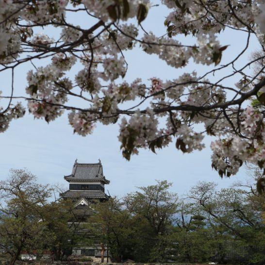 松本城桜4‐28‐2019