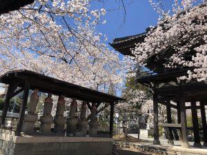 松本蓝天下盛开的樱花