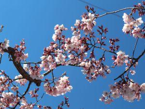 今、松本で桜を見るなら「辰巳の庭のコヒガンサクラ」と女鳥羽川水辺「大山桜」