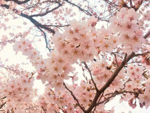 Kirschblüten in Matsumoto