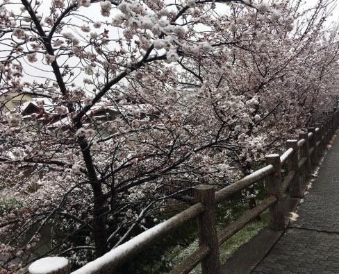 Sakura snow 8