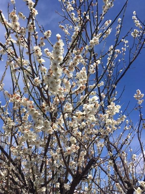 Spring ume white
