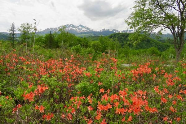 乗鞍高原はレンゲツツジや高山植物の花が咲いてきています。
