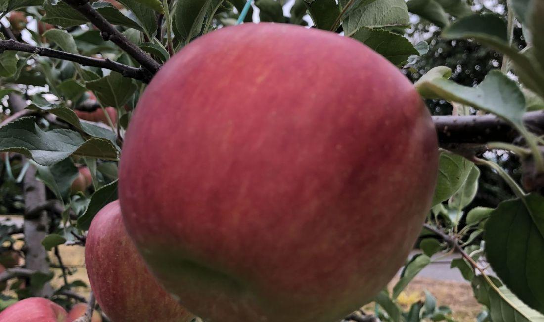 ห้ามพลาดชิมแอปเปิ้ลแสนอร่อย