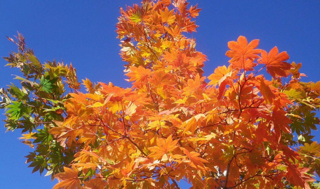 乗鞍高原から紅葉便りが届きました!乗鞍・上高地・奈川へ紅葉を見にお出かけください!