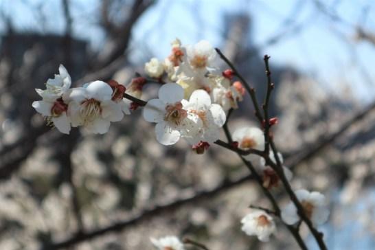 梅の花3月9日