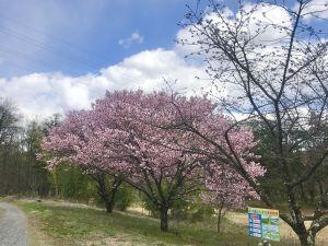 梓川花見 八景山の桜🌸