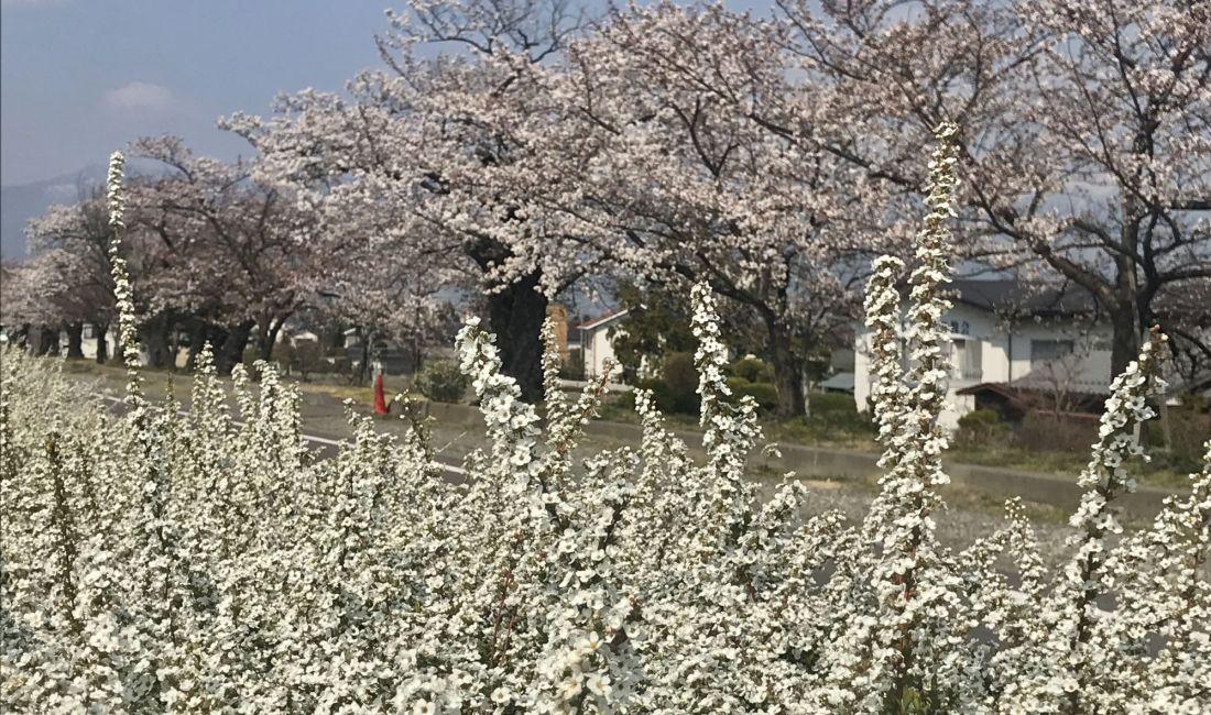 薄川堤防沿いの桜????