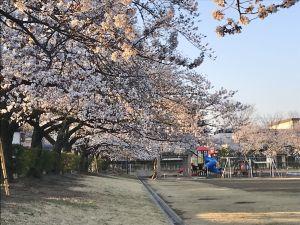あがたの森公園の桜🌸