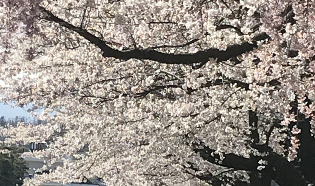 美須々駐車場の桜🌸 満開