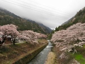 安曇・島々谷の桜並木がキレイです!
