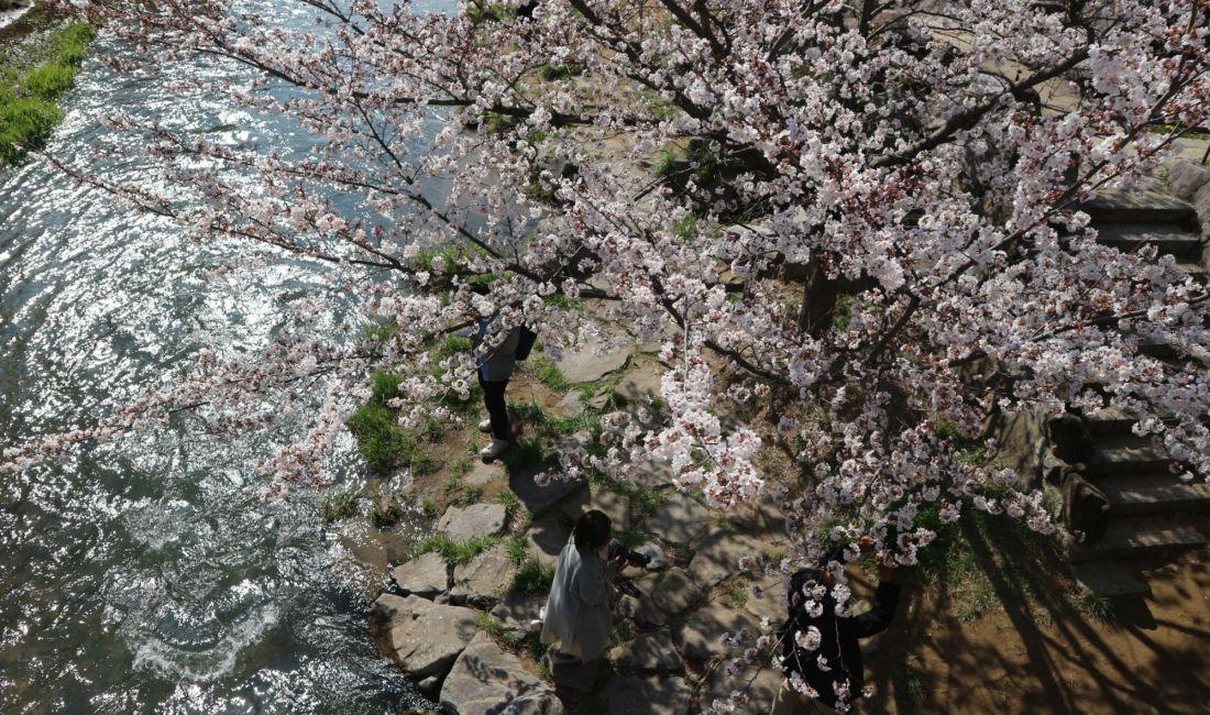 女鳥羽川ソメイヨシノ満開🌸4月5日
