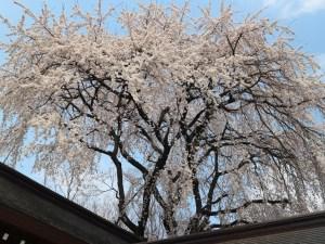 長野縣護国神社は桜の名所です🌸🌸