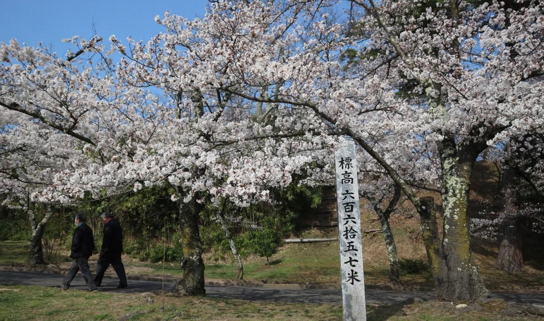 城山公園🌸桜満開🌸