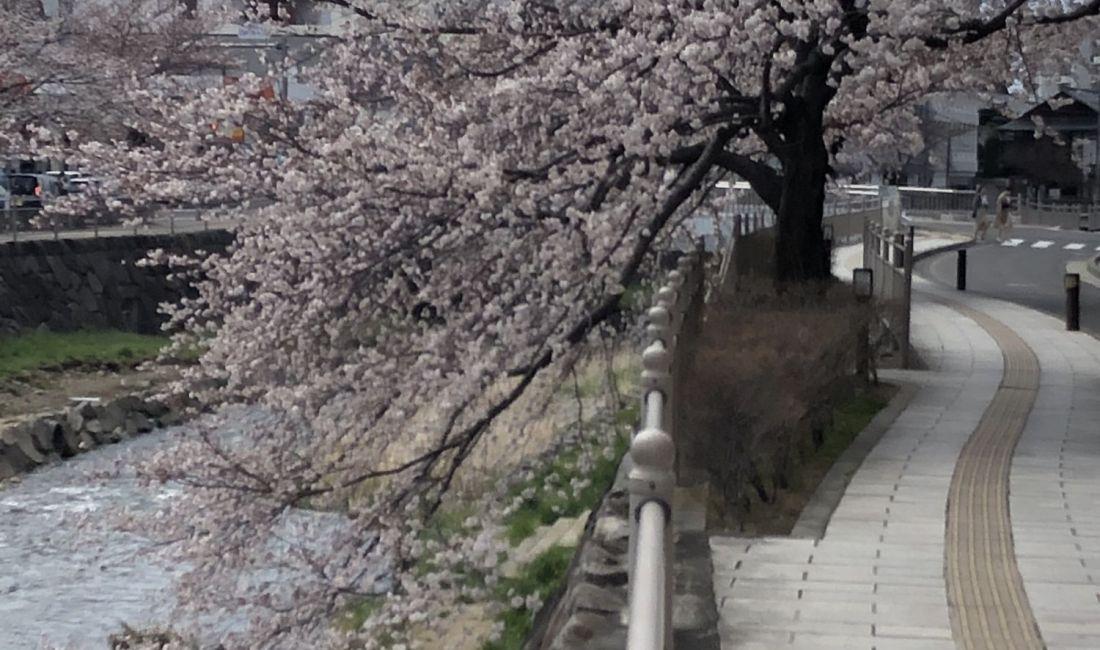 清明节的樱花----疫情蔓延中的松本市街一角