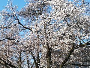 남마츠 공원 사쿠라(벚꽃) 소식