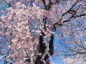 Noch mehr Kirschblüten in Matsumoto