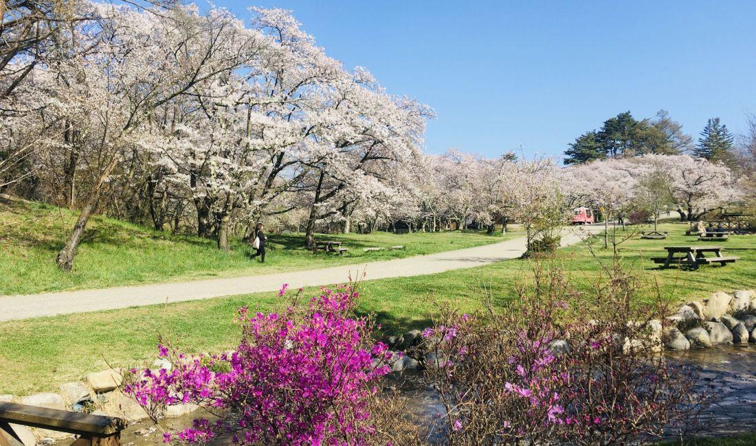 Kirschblüte im Alpenpark
